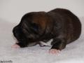 s Pup 2 Askur 1 week oud (1)