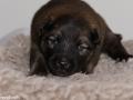s Pup 2 Askur 13 dagen oud