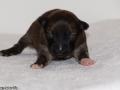 s Pup 3 Álfkona 1 week oud (1)
