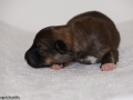 s Pup 3 Álfkona 1 week oud (2)