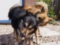 IJslandse Honden Elska en Ylfa Alphen aan den Rijn