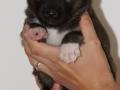 s Pup 4 Baldur 3 weken oud