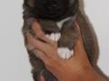 s Pup 2 Askur 4 weken oud