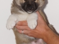 s Pup 6 Kappi 6 weken oud