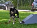 12,5 maanden oud bij een workshop Flyball op de hondenschool