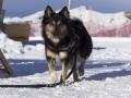 IJslandse Hond Elska 2 jaar en 9 maanden oud