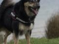 IJslandse Hond Elska 2 jaar en 6 maanden oud