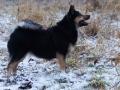 IJslandse Hond Elska 3,5 jaar oud