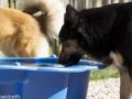 IJslandse Hond Elska 2 jaar en 10 maanden oud