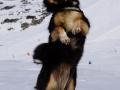 IJslandse Hond Elska 4 jaar oud