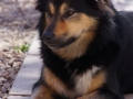 IJslandse Hond Elska 3 jaar oud