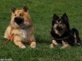 IJslandse Hond Elska 2 jaar en 11 maanden oud