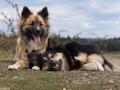 s IJslandse Honden Elska en Ylfa 1300