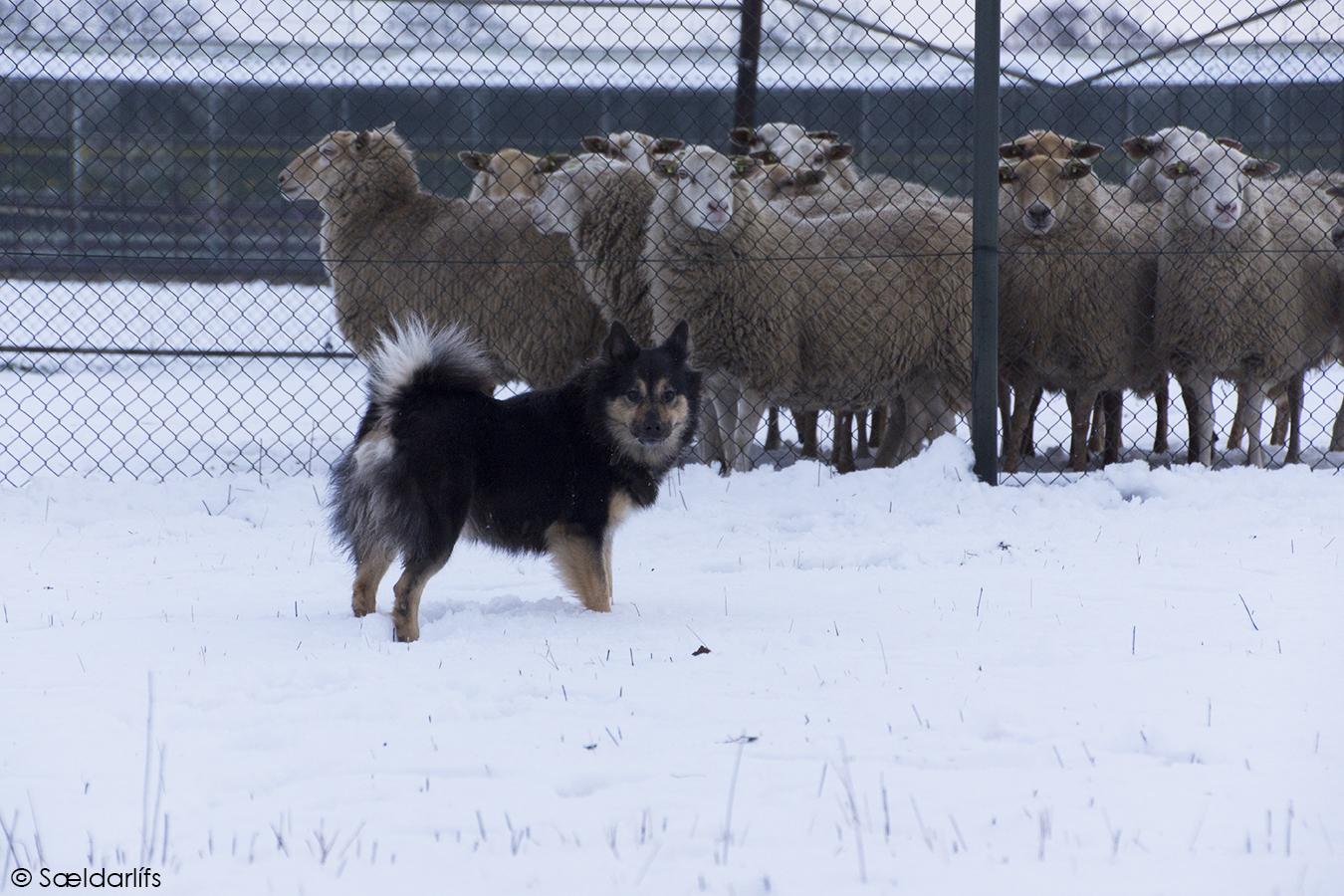 s-DSC03293-Elska-schapen