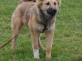 s IJslandse Hond AEska Schapendrijven 2016-12-17 (1)