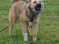 s IJslandse Hond AEska Schapendrijven 2016-12-17 (2)