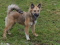 s IJslandse Hond AEska Schapendrijven 2016-12-17 (3)