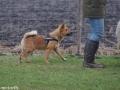 s IJslandse Hond Alfkona Schapendrijven 2016-12-17 (10)
