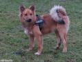 s IJslandse Hond Alfkona Schapendrijven 2016-12-17 (14)