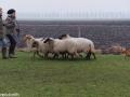 s IJslandse Hond Alfkona Schapendrijven 2016-12-17 (4)