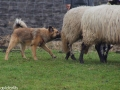 s IJslandse Hond Askur Schapendrijven 2016-12-17 (10)