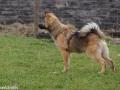 s IJslandse Hond Askur Schapendrijven 2016-12-17 (2)