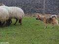 s IJslandse Hond Askur Schapendrijven 2016-12-17 (3)