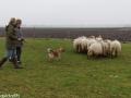 s IJslandse Hond Askur Schapendrijven 2016-12-17 (5)