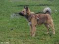 s IJslandse Hond Askur Schapendrijven 2016-12-17 (7)