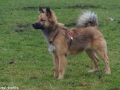 s IJslandse Hond Askur Schapendrijven 2016-12-17 (8)
