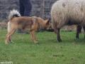 s IJslandse Hond Askur Schapendrijven 2016-12-17 (9)
