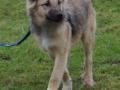 s IJslandse Hond Baldur Schapendrijven 2016-12-17 (1)