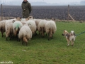 s IJslandse Hond Baldur Schapendrijven 2016-12-17 (2)