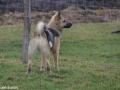 s IJslandse Hond Baldur Schapendrijven 2016-12-17 (3)