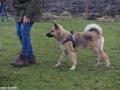 s IJslandse Hond Baldur Schapendrijven 2016-12-17 (4)