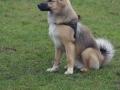 s IJslandse Hond Baldur Schapendrijven 2016-12-17 (6)