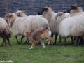 s IJslandse Hond Elja Schapendrijven 2016-12-17 (1)