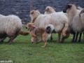 s IJslandse Hond Elja Schapendrijven 2016-12-17 (2)