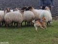 s IJslandse Hond Elja Schapendrijven 2016-12-17 (3)