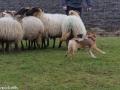 s IJslandse Hond Elja Schapendrijven 2016-12-17 (4)
