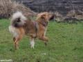 s IJslandse Hond Elja Schapendrijven 2016-12-17 (7)
