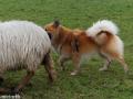 s IJslandse Hond Eskil schapendrijven 2016-12-17 (12)