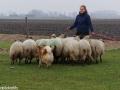 s IJslandse Hond Eskil schapendrijven 2016-12-17 (16)