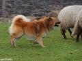 s IJslandse Hond Eskil schapendrijven 2016-12-17 (17)