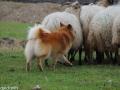 s IJslandse Hond Eskil schapendrijven 2016-12-17 (18)
