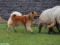 s IJslandse Hond Eskil schapendrijven 2016-12-17 (19)