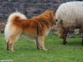 s IJslandse Hond Eskil schapendrijven 2016-12-17 (3)