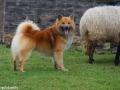 s IJslandse Hond Eskil schapendrijven 2016-12-17 (4)