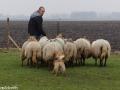 s IJslandse Hond Kappi Schapendrijven 2016-12-17 (17)