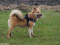 s IJslandse Hond Kappi Schapendrijven 2016-12-17 (19)